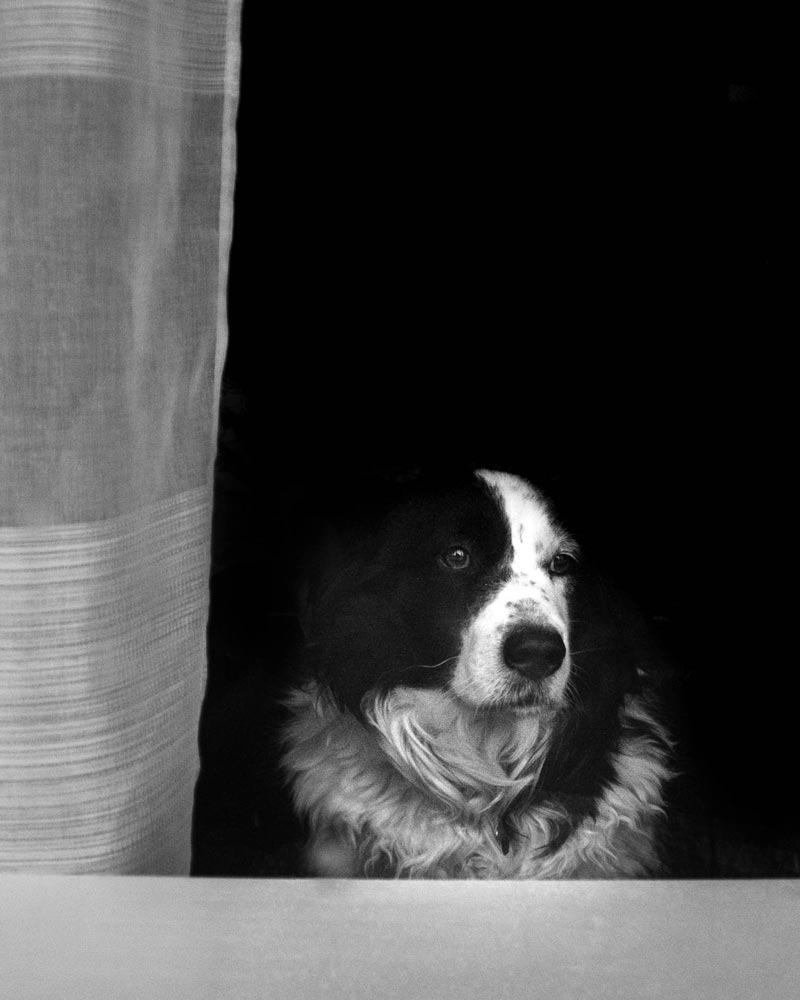 Dog looking outside of a window