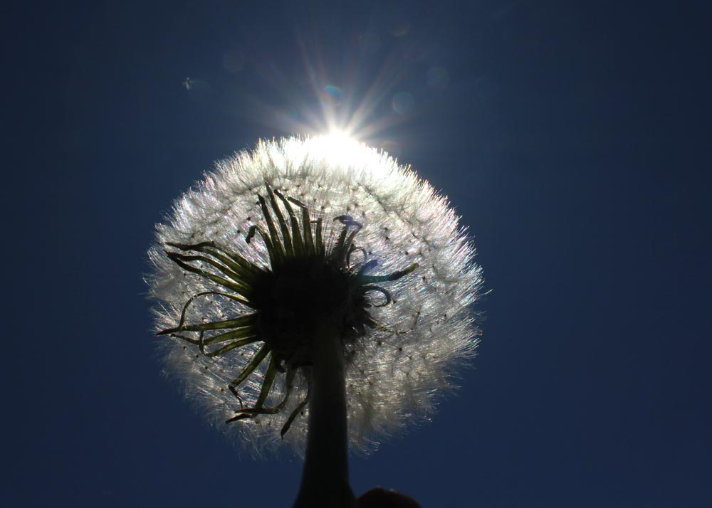 View from under a dandelion looking up towards a clear blue sky with the sun behind the plant